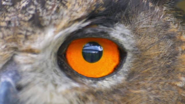 owl looking around with big orange eyes close up - aquila video stock e b–roll