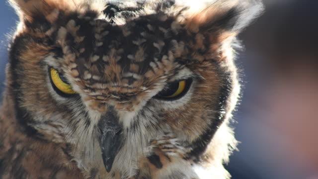 baykuş başını çeviriyor ve bakıyor - etçiller stok videoları ve detay görüntü çekimi