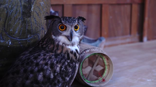Owl Owl bird of prey stock videos & royalty-free footage