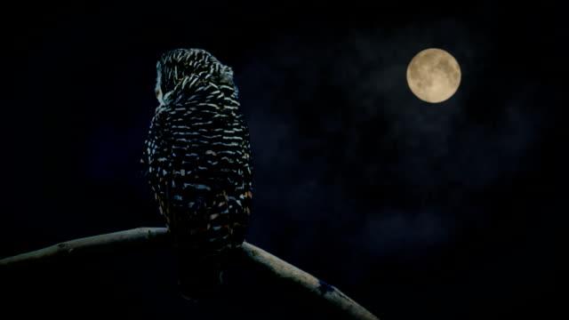 stockvideo's en b-roll-footage met owl watching in moon light - uil