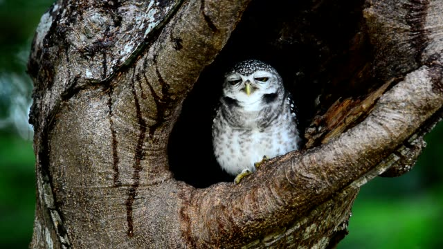 stockvideo's en b-roll-footage met owlet nest. - uil
