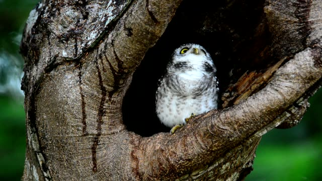 Owlet nest video