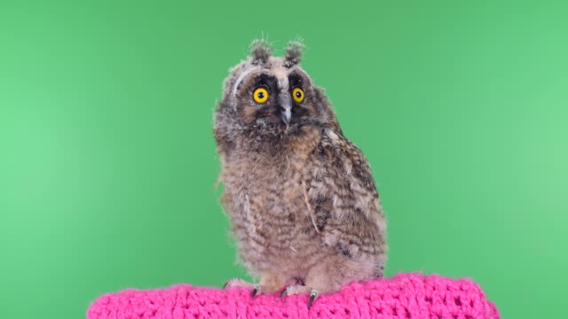 stockvideo's en b-roll-footage met owlet on a green background with alpha channel - uil