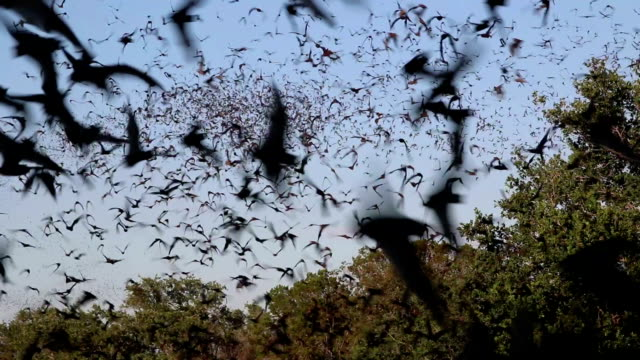 Owls hunt in clouds flying Mexican free-tailed bats Texas video