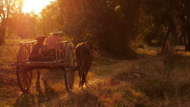 Ox Cart Travelling at Sunset in Thailand