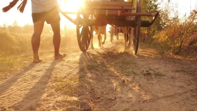 ox cart travelling at sunset in thailand - cocchio video stock e b–roll