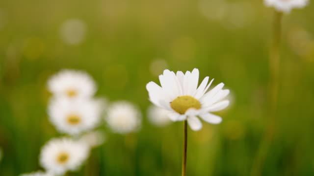 ds cu oxeye daisy in the meadow - нивяник стоковые видео и кадры b-roll