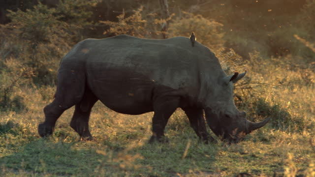 Ox-pecker bird perched on rhino's back and flying insects. video