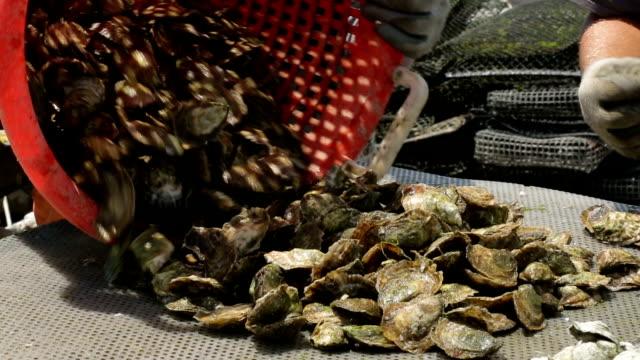 Oyster farming video