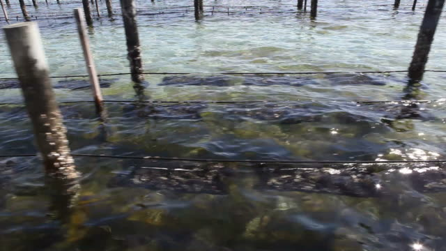 Oysters farm video