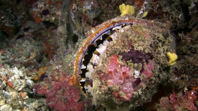 vídeos de stock e filmes b-roll de oysters shell conch fish underwater on background of seabed in maldives. - bugio