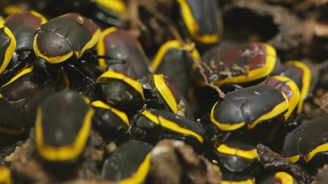 stockvideo's en b-roll-footage met pachnoda marginata peregrina - arthropod