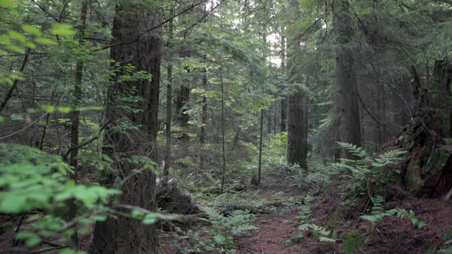 Pacific Northwest Forest dolly shot 4K, UHD