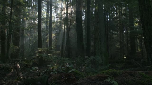 pacific northwest forest misty morning dolly shot - trees in mist stock videos & royalty-free footage