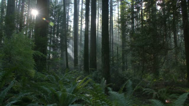stockvideo's en b-roll-footage met pacific northwest forest zon dolly schot - boomstam
