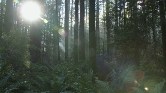 pacific northwest forest sun flare dolly shot right - trees in mist stock videos & royalty-free footage