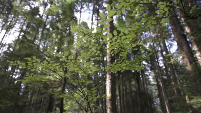 pacific northwest unterholz dolly erschossen 4k uhd - kiefernwäldchen stock-videos und b-roll-filmmaterial