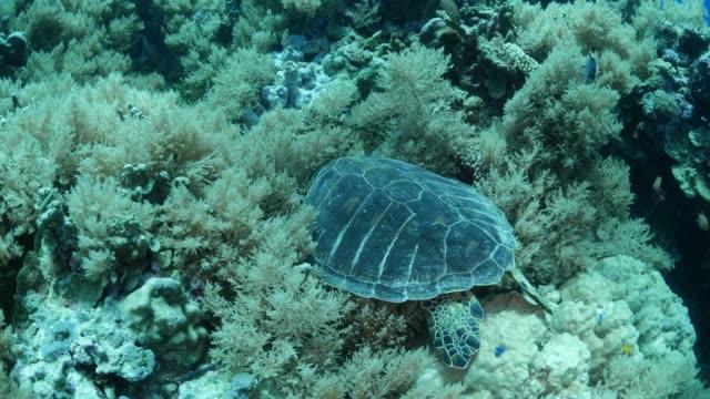 vídeos y material grabado en eventos de stock de tortuga marina ridley pacífico, corales blandos - sea life park
