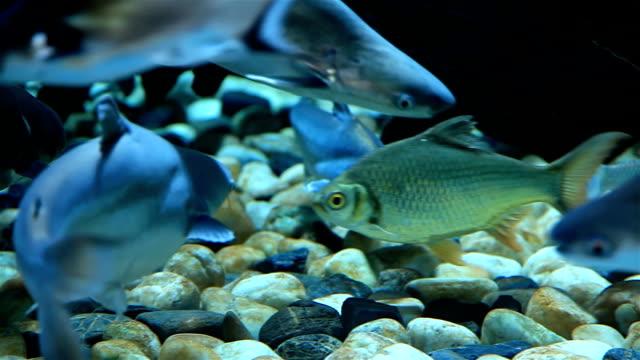 pacific tarpon fisch - ichthyologie stock-videos und b-roll-filmmaterial