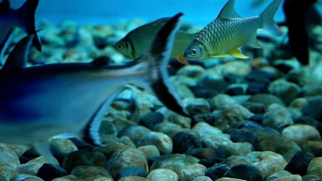pacific tarpon fish - i̇htiyoloji stok videoları ve detay görüntü çekimi