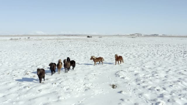 A Pack of Beautiful Icelandic Horses in Snowy Conditions