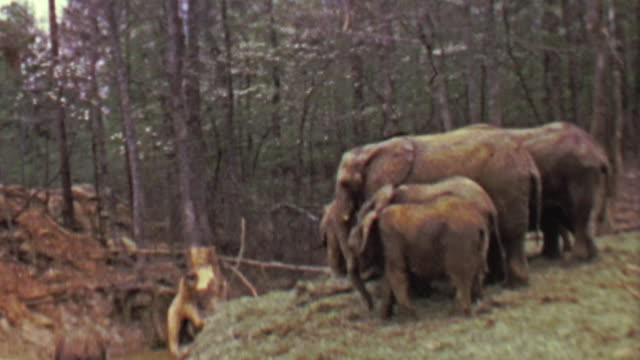 1964: Pack of elephants eating food in eastern USA forest habitat. video