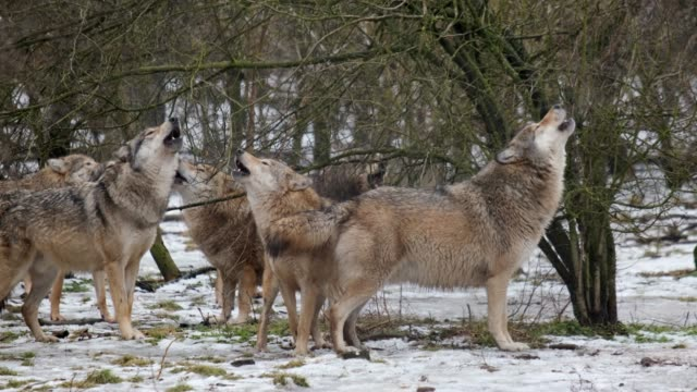 Pack of grey wolves howling. Includes Audio.