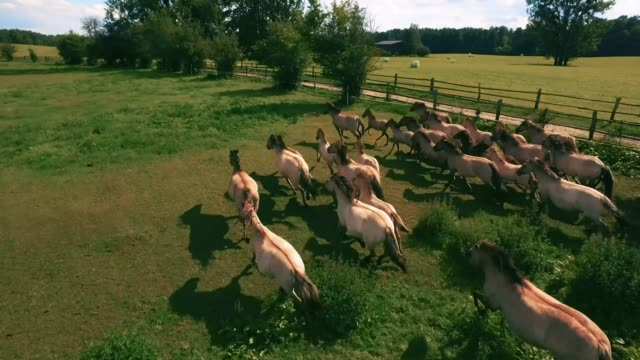 4K Pack of horses running on a farm on a sunny day Aerial