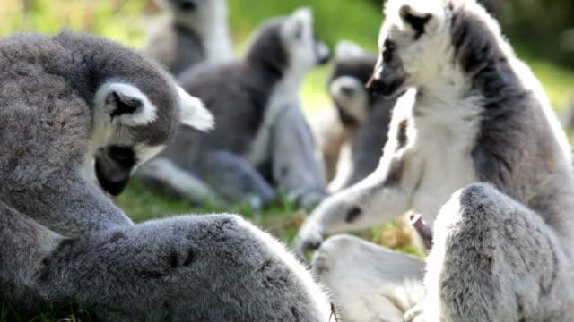 pack of lemurs - lemur bildbanksvideor och videomaterial från bakom kulisserna