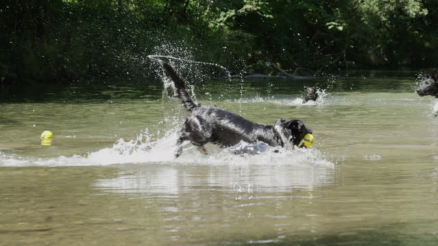 slow motion: pack of lively dogs splashing and swimming in the nearby creek - border collie video stock e b–roll