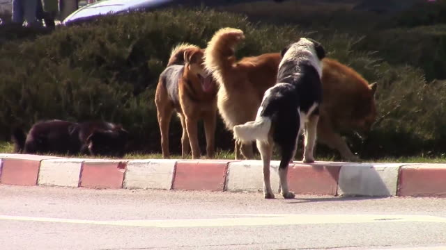 Pack of urban stray dogs in the middle of a city roundabout video
