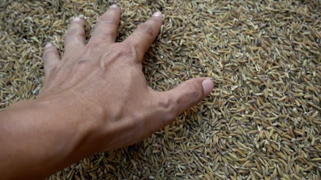 vidéos et rushes de paddy et main ralenti - seigle grain