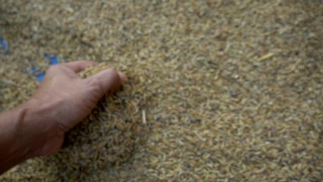 paddy und hand-slow-motion - roggen stock-videos und b-roll-filmmaterial