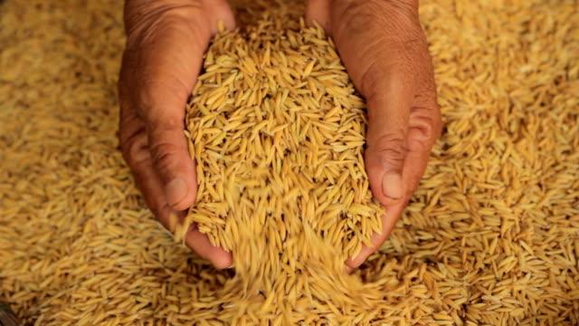 paddy und hand - reis grundnahrungsmittel stock-videos und b-roll-filmmaterial