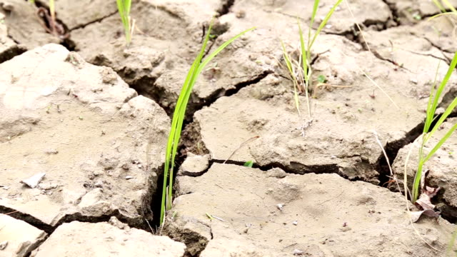 Paddy field, dry soil, drought land, hot weather video