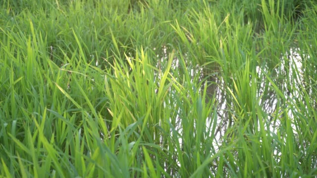 paddy-feld in grün - strohhut stock-videos und b-roll-filmmaterial