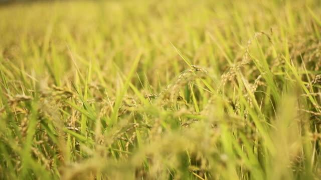 タイ北部の水田田 - 稲点の映像素材/bロール