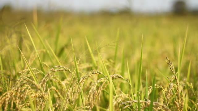 paddy rice field i norra thailand - kungen av thailand bildbanksvideor och videomaterial från bakom kulisserna