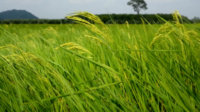 Paddy rice in early developed kernels stage video