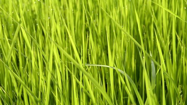 piantagioni di riso riso campo - cespuglio tropicale video stock e b–roll