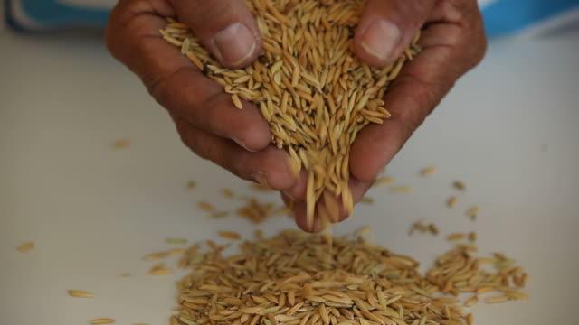 piantagioni di riso. - full hd format video stock e b–roll