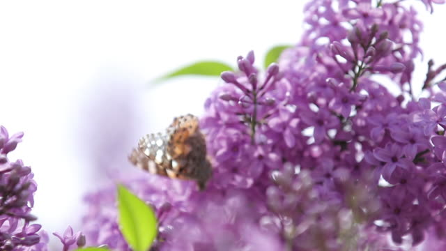Painted lady butterfly (Vanessa Cynthia cardui) on the flowers blooming lilac in the sunny spring day. Shallow depths of the field, close up, light breeze, slow motion video. video