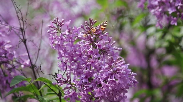Painted lady butterfly (Vanessa Cynthia cardui) on the flowers blooming lilac in the sunny spring day video