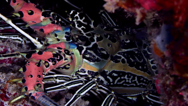 Painted spiny lobster, Panulirus versicolor, is hiding in a cave