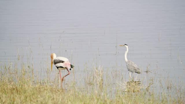 MS Painted stork and gray heron wading in lake,Sri Lanka
