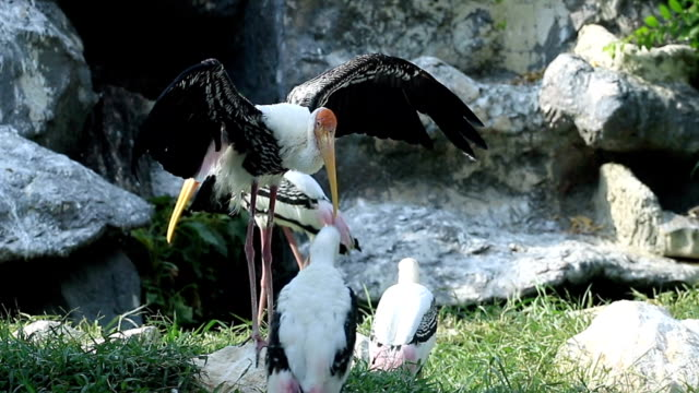 Painted Stork Relaxing video