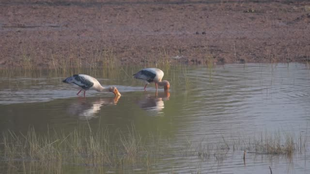 Painted Storks fishing