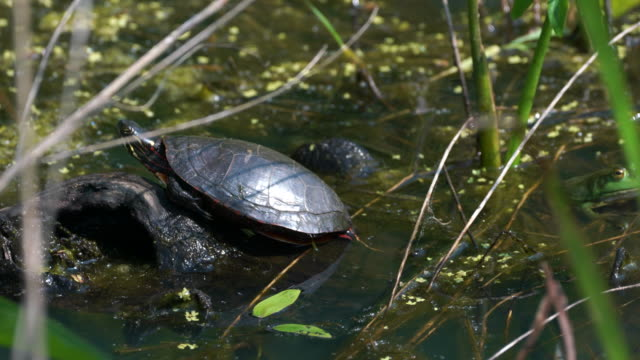 Painted Turtle Sitting on a log in 4k Painted Turtle sits on a lot marsh stock videos & royalty-free footage