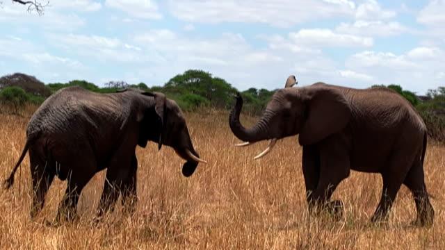 Paire d'éléphants dans la savane africaine copulating N.P de Tarangire. - Vidéo