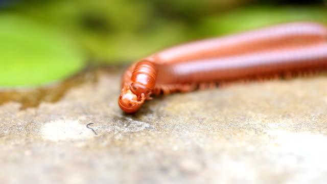 pair of brown centipedes on ground one millipede is atop another. - zachowanie zwierzęcia filmów i materiałów b-roll